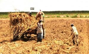 sugar-workers