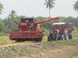 Rice in Guyana
