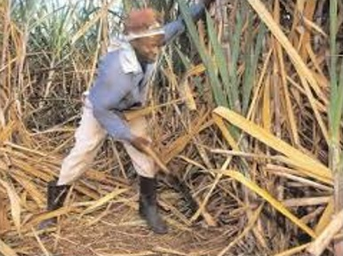 Government moving to privatise sugar cane industry